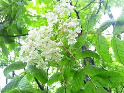 ナナカマドの花140501 101304
