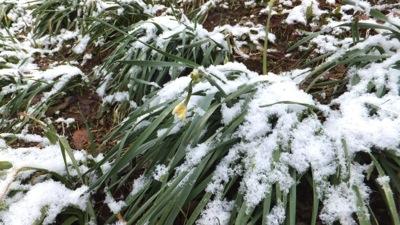 雪をまとった水仙