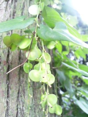 ヤマノイモの種150917 104221