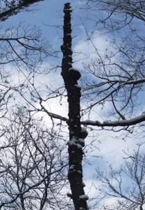 ヒラタケの木