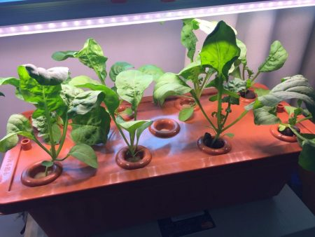 My Hydroponics Experiment - The Harvest