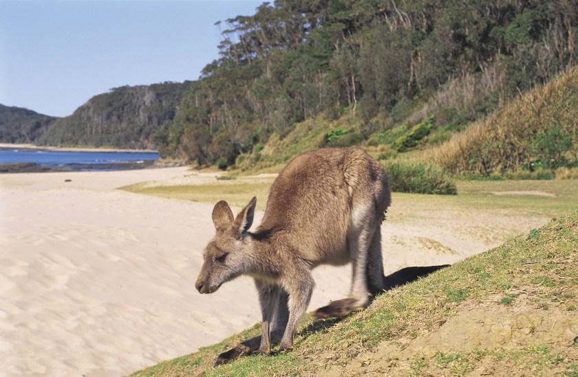 Kangaroo, Pebbly Beach