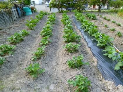 根寄せの終わったジャガイモ畑