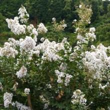 白いサルスベリの花