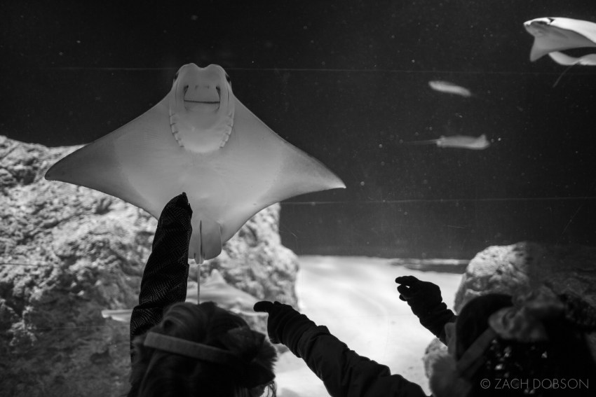Christmas at the Zoo in Indianapolis, Indiana. Cownose Ray exhibit.