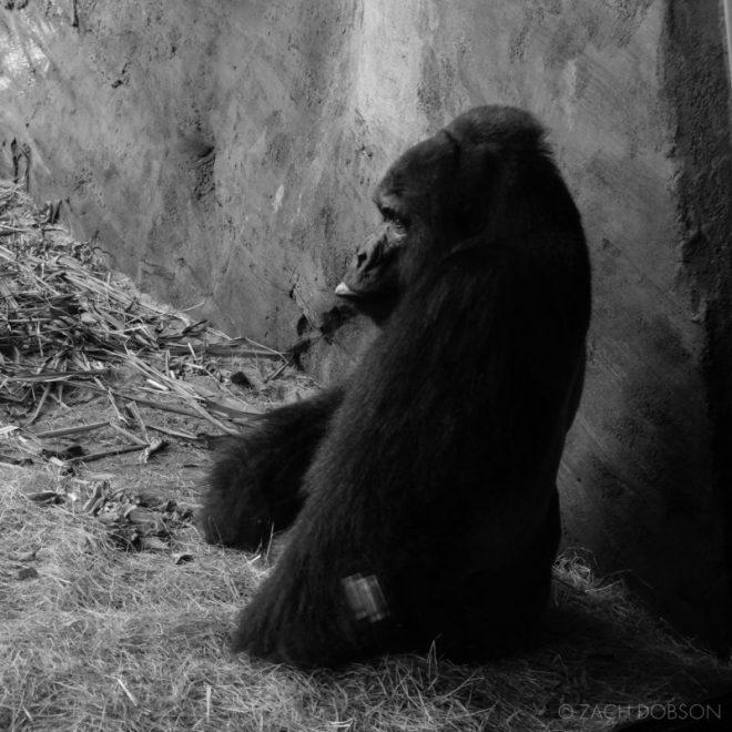 disney-world-animal-kingdom gorilla