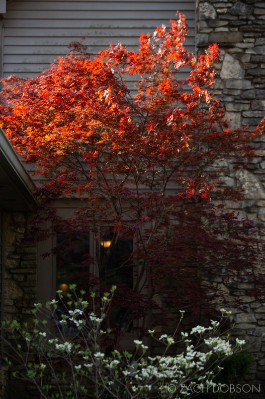 morning light on a japanese maple tree in indiana