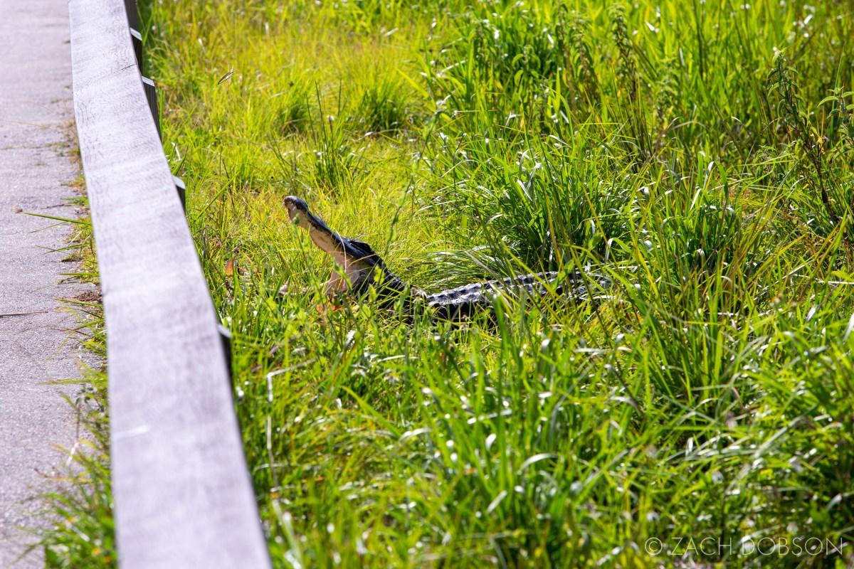 everglades national park anhinga trail alligator
