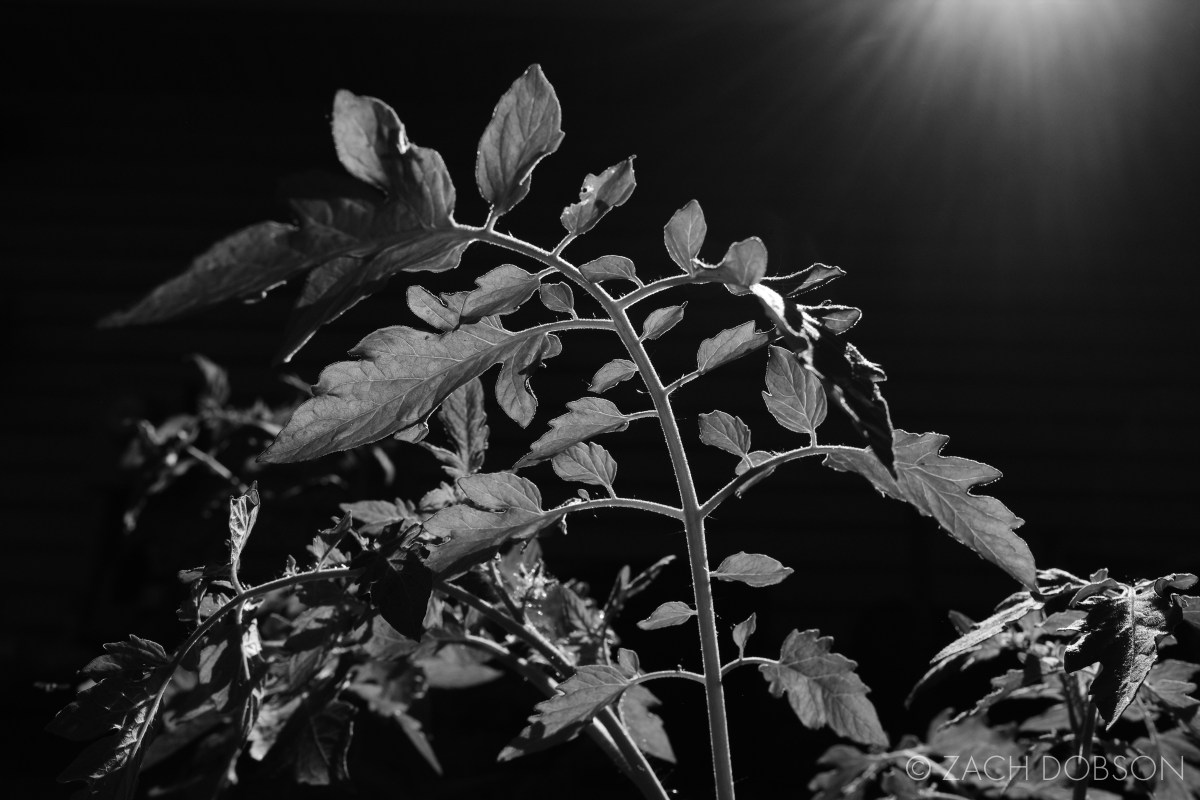 black and white nature photography tomato plant