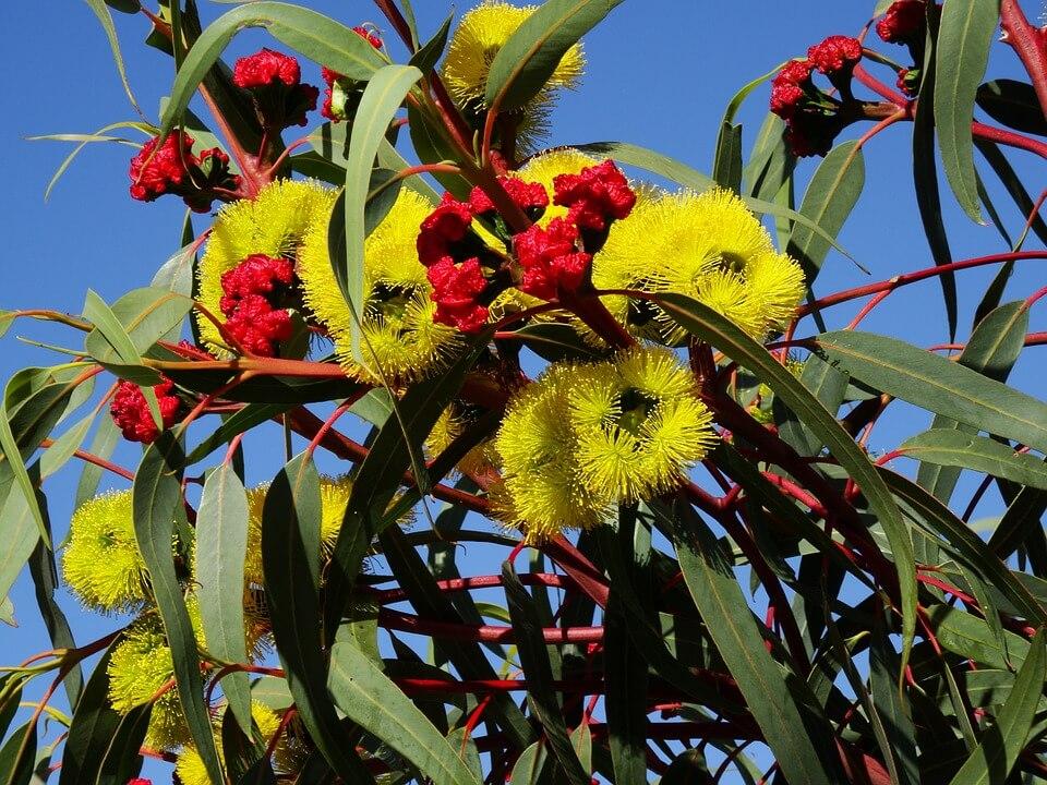 eucalyptus-flower-777900_960_720