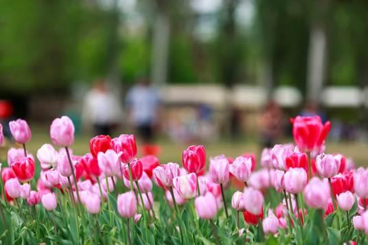 Floriade tulips