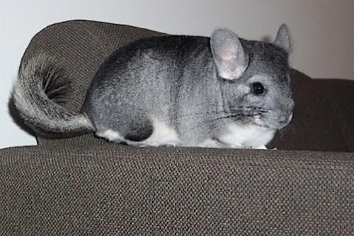 Chin_resting_on_sofa.jpg