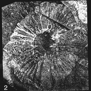anomalocaris-peytoia