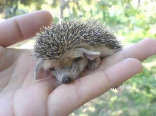 Cutest Hedgehog Ever