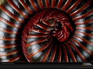 curled-millipede-386675-lw