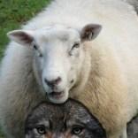 wolf sheep