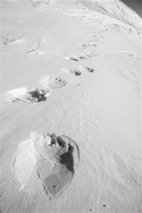 Footprints from a polar bear in the snow at Svalbard, Norway
