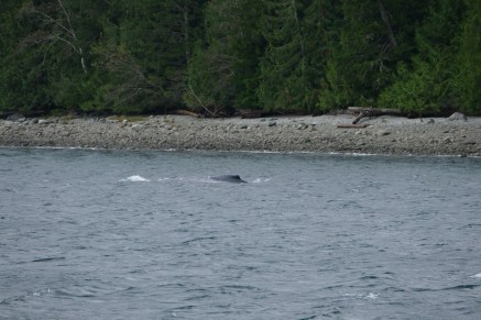 1-humpback-whale-with-calf