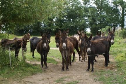 troupeau-ânes