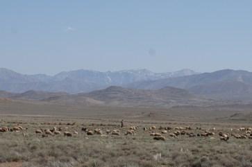 Schafherde in Wüste vor schneebeckten Bergen nahe Isfahan