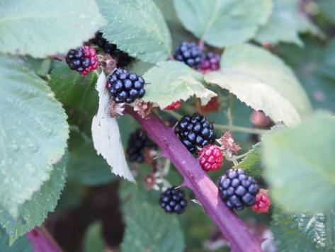 whblackberry-bush