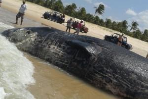 Baleia foi encontrada nesta terça-feira (Foto: Cedida)