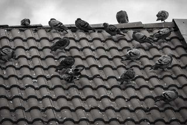 porumbei pe acoperis