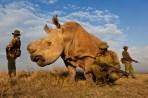 8. Brent Stirton, EOS 5D Mk II; Rezervația Ol Pejeta Kenya – 13 iulie 2011
