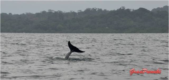 Excursión por el archipiélago de Bocas del Toro viendo delfines en Bahía Delfines. En Blog de Viajes, Bocas del Toro con niños