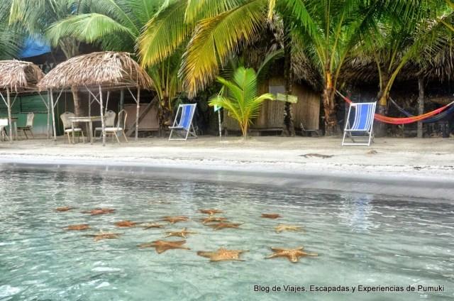 Grupo de Estrellas de mar (Asteroidea) junto a la playa en Bocas del Toro, Panamá