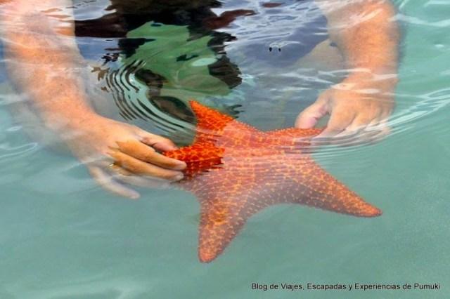 Estrella de Mar Gigante comparada con el tamaño de la mano, en Playa Estrella, Bocas del Toro, Panamá