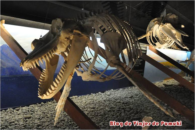 El museo de las ballenas de Husavik cuenta con gran cantidad de esqueletos completos. Blog de viajes por Islandia
