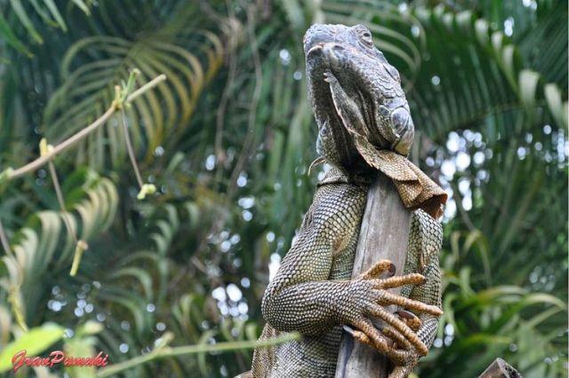 Iguana en el jardín del hotel de Tortuguero. En blog de viajes, Tortuguero, Costa Rica con niños