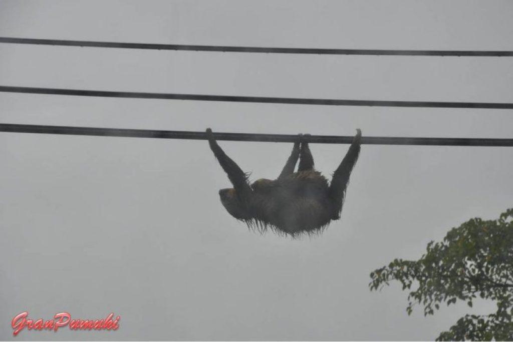Perezoso en tendido eléctrico, Costa Rica