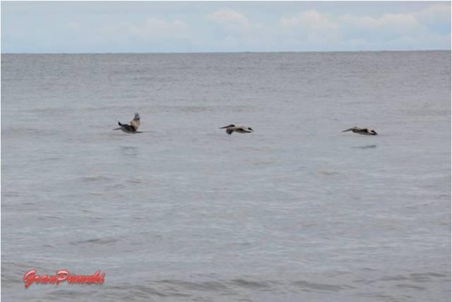 Pelícanos volando frente a la playa de Tortuguero. En blog de viajes, Tortuguero, Costa Rica con niños