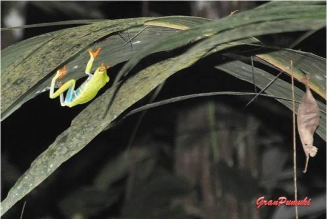 Rana de ojos rojos en el recorrido nocturno por la selva de Tortuguero. En blog de viajes, Tortuguero, Costa Rica con niños
