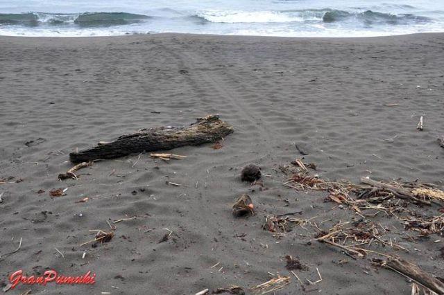 Rastro de las tortugas en la playa de Tortuguero. En blog de viajes, Tortuguero, Costa Rica con niños