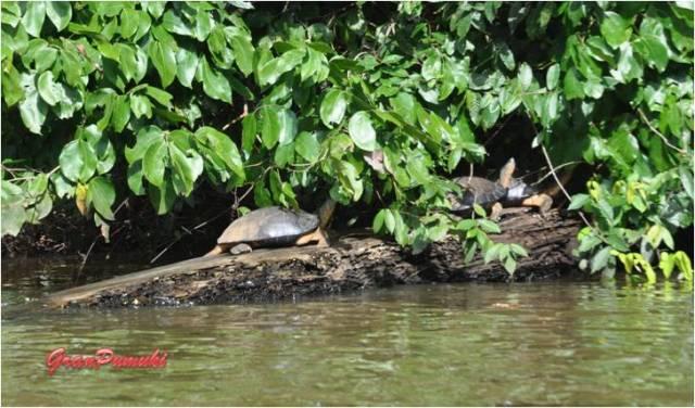 Tortugas de agua dulce en los caños de Tortuguero. En blog de viajes, Tortuguero, Costa Rica con niños
