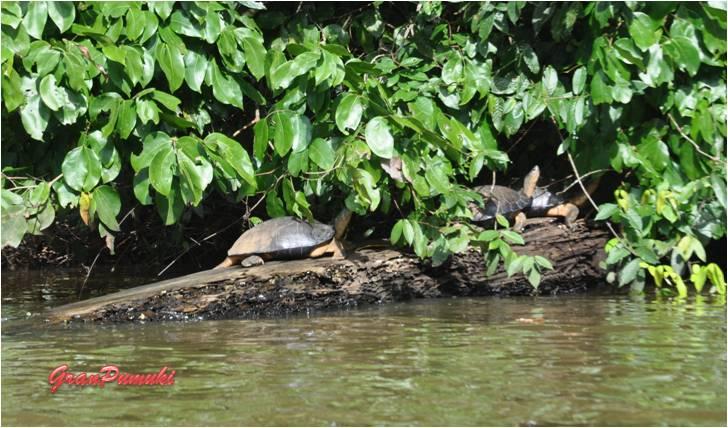 Tortugas en los caños de Tortuguero en Costa Rica