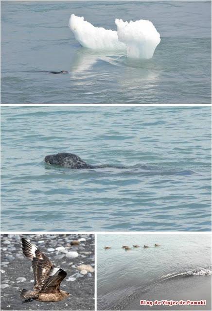 Focas entre el hielo, patos en la orilla y aves sobrevolando Jakusarlón.