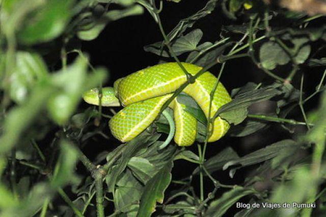 Lora venenosa durante el tour nocturno de Monteverde, Costa Rica. Su veneno pude ser mortal en dos horas