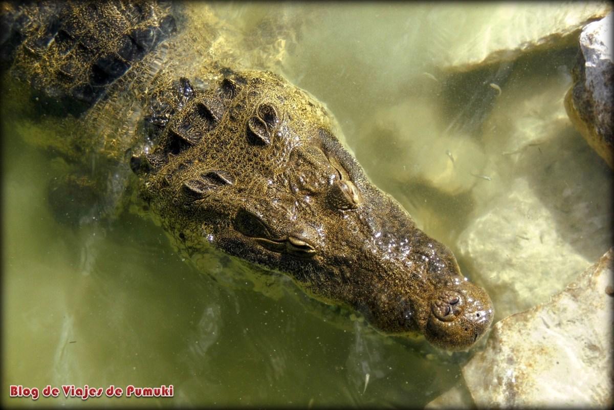 Cocodrilo en un lago cerca de Coba, México