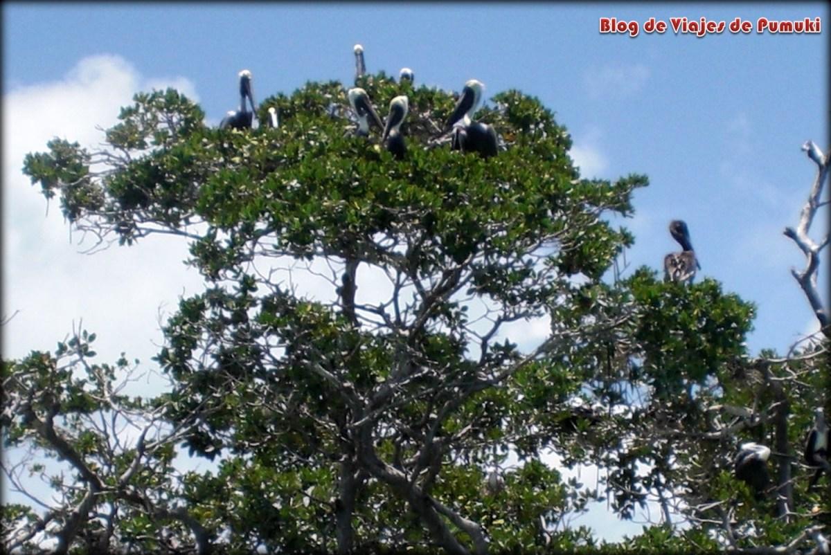 Puedes ver Pelícanos en Sian Ka´an, Riviera Maya.