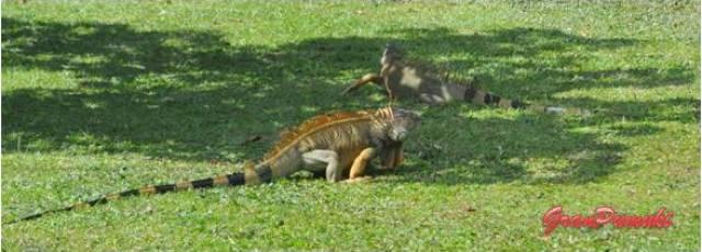 Las iguanas salen de su selva para dominar parque y jardines en Costa Rica. Mas fauna en Blog de Viajes de Costa Rica con niños