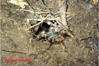 La tarántula está presente y es posible observarla en el tour nocturno por la selva y el Bosqu Nuboso de Monteverde. Mas en blog de Viajes a Costa Rica