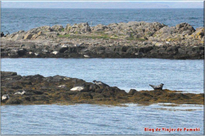 Colonias de focas en Hindisvik, Islandia