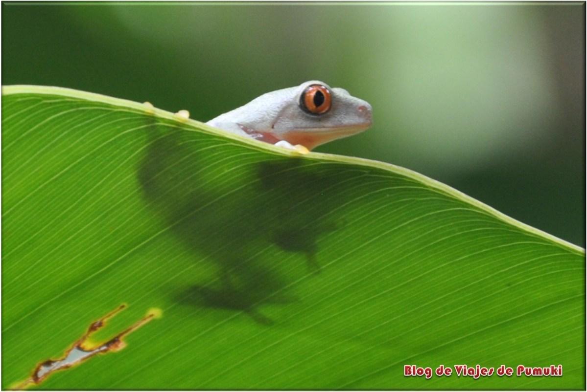 La rana verde de ojos rojos es el símbolo de Costa Rica