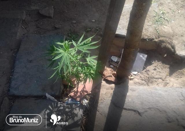 Após denúncias, policiais encontram pé de maconha que estava sendo cultivado em calçada na cidade de Santa Cruz