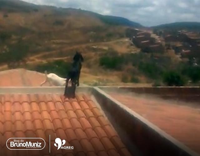 Caprinos em telhados geram reclamações em distrito de Taquaritinga do Norte