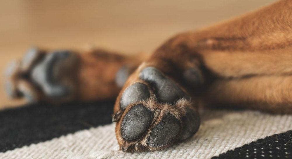 """Fundamentais na anatomia dos pets, as """"almofadinhas"""" merecem atenção especial"""